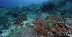 A wide shot of a large school of Convict Blennies, Pholidichthys leucotaenia  swarming over the coral reef in a cloud of fish.