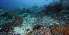 A wide  tracking shot of a large school of Convict Blennies, Pholidichthys leucotaenia  swarming over the coral reef in a cloud of fish.