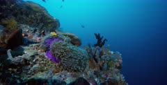 Two stunning orange and white False clown Anemonefish,Clownfish, Amphiprion ocellaris swim on their deep purple colored Magnificent Sea Anemone, Heteractis magnifica while Three-spotted Dascyllus,Damselfish, Dascyllus trimaculatus swim about and seek protection from the Anemone.