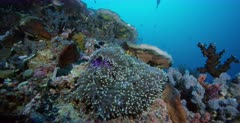 Stunning orange and white False clown Anemonefish,Clownfish, Amphiprion ocellaris swim on their deep purple colored Magnificent Sea Anemone, Heteractis magnifica while Three-spotted Dascyllus,Damselfish, Dascyllus trimaculatus swim about and seek protection from the Anemone.