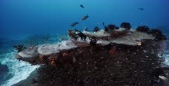 A wide tracking shot of a large Hard Coral block covered in clouds of Pygmy Sweeper Fish,Golden Sweeper, Parapriacanthus ransonneti  and  Convict Blennies, Pholidichthys leucotaenia