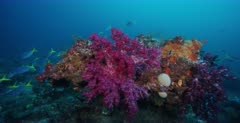 A trcking shot to a bommie covered in pink and purple Soft Coral, Dendronephthya sp with a large school of Yellowback Fusilier fish, Caesio teres swimming by.