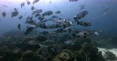 A wide shot of a large school of Lowfin Rudderfish, Lowfin Drummer, Kyphosus vaigiensis.