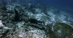 A wide shot of a large school of Convict Blennies, Pholidichthys leucotaenia swarming over the reef.