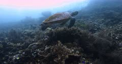 A close up side view shot of a Hawksbill Turtle, Eretmochelys imbricata with its shell covered in green algae, swiming above the reef.