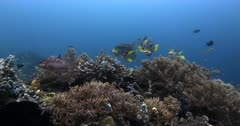 A medium wide shot of four Lined Sweetlips fish,Diagonal Banded Sweetlips, Plectorhinchus lineatus and three Lowfin Rudderfish, Lowfin Drummer, Kyphosus vaigiensis above a healthy coral reef.