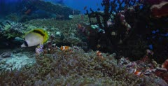 A medium wide shot of a family of False clown Anemonefish,Clownfish, Amphiprion ocellaris on a Magnificent Sea Anemone, Heteractis magnifica with yellow tips chasing a  Spot-nape Butterflyfish, Chaetodon oxycephalu away from eating its eggs.