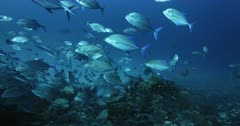 A medium wide shot of a large school of Bluefin Trevally,Jacks,Fish,  Caranx melampygus hunting Anchovy, Stolephorus indicus.