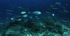 A wide shot of a large school of Bluefin Trevally,Jacks,Fish,  Caranx melampygus and Orangespotted Trevally, Carangoides bajad hunting Anchovy, Stolephorus indicus.