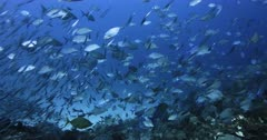 A stunning wide shot of a large school of Bluefin Trevally,Jacks,Fish,  Caranx melampygus and Orangespotted Trevally, Carangoides bajad hunting Anchovy, Stolephorus indicus. So Many fish that one can hardly see clearly.