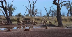 A Wide shot of a huge herd of Lechwe resting at Paradise pools.
