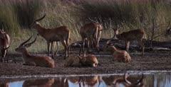A CU pan shot of a huge herd of Lechwe resting at Paradise pools.