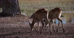 A CU shot of two Lechwe resting at Paradise pools. One is pooping.