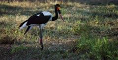 A CU of a Saddle billed stork hunting for food.