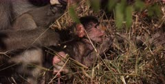 Extreme CU of a new born baby Baboon with its penis hanging out, chews on a twig.