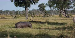 A medium wide, side shot of a Hippo standing in a field of grass and wild flowers eating. Note the Red billed Oxpecker on its back.