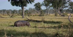 A reveal, side shot of a Hippo standing in a field of grass and wild flowers eating. Note the Red billed Oxpecker on its back.
