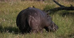 A CU, back view shot of a Hippo standing in a field of grass and wild flowers eating. Note the Red billed Oxpecker on its back.