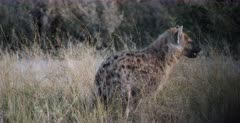 A CU shot of a Spotted Hyena pup walking in the bush
