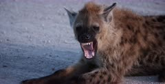 A CU shot of a Spotted Hyena pup laying down, yawning and rubbing its face.