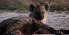 A CU shot of a tired Spotted Hyena pup sleeping on a sandy bush air strip.