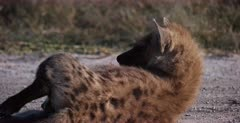 A CU shot of a tired Spotted Hyena pup rolls on the ground.