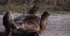 A CU shot of a tired Spotted Hyena pup rolls on its back