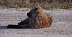 A CU shot of a tired Spotted Hyena pup who yawns and follows mom
