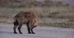 A CU shot of a tired Spotted Hyena pup grooming.