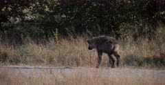 A CU shot of a Spotted Hyena pup who limps with a sore foot, while following mom