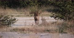 A medium wide shot of a tired Spotted Hyena mom showing the way to her pup.