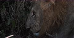 A CU of the side view face of a lion
