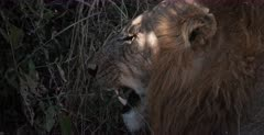 A CU of the side view face of a lion licking its lips.