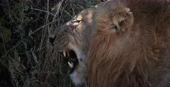 A CU of the side view face of a lion licking its lips and baring its teeth.