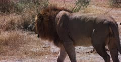 A CU Tracking shot of a lion walking and peeing as he meets his brother laying under a shrub.
