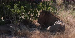 A CU shot of two brother lions under a shrub.