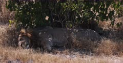 A CU shot of two brother lions under a shrub, laying head to toe.