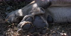 An extreme CU of the paws of a lion