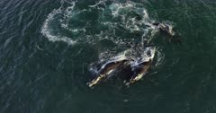 An aerial shot of Mating Southern right whale. Note the males surrounding the female and how the female turns onto its back