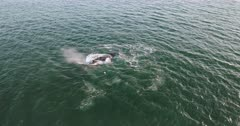 A wide aerial shot of Southern right whales breaching and flapping its tale.