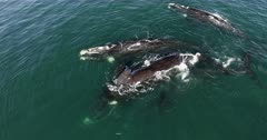 An aerial shot of four Southern right whales, in courtship with a female who rolls on her back, ready to mate.