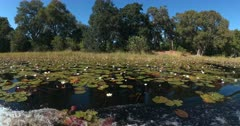A wide shot of Water Lilies