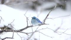 Male Mountain Bluebird in a Snowstorm
