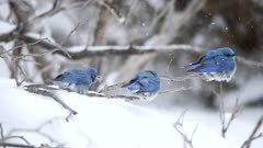 Three Male Mountain Bluebird in a Snowstorm