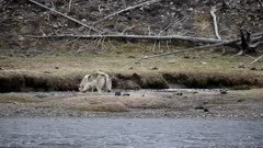 Gray Wolf (Canis lupus) drags an elk carcass out of the river.