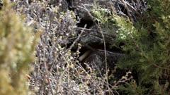 Long-tailed Weasel (Mustela frenata) digging