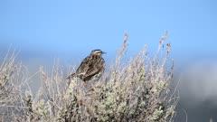Western Meadowlark (Sturnella neglecta) Singing in sagebrush