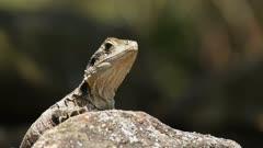 an australian eastern water dragon lizard on a rock