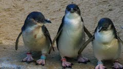 a group of three little penguins, the world's smallest penguin, standing on a beach