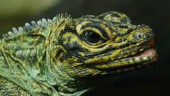close up of the head of a philippine sailfin lizard